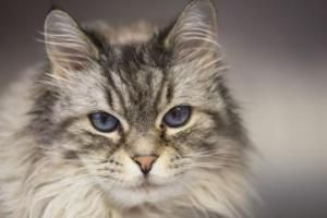 Snowpoke is an adoptable Domestic Medium Hair Cat in Bellevue, WA. Meet Oyo, a gorgeous 6-year-old, medium-haired Lynx point Ragdoll mix who is ready to make a new friend! Oyo is a stunning girl who h...