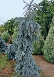 Weeping Blue Spruce An Evergreen Of Bright Colour In A Unusual Strongly Form With No Two Plants Alike The Branches And