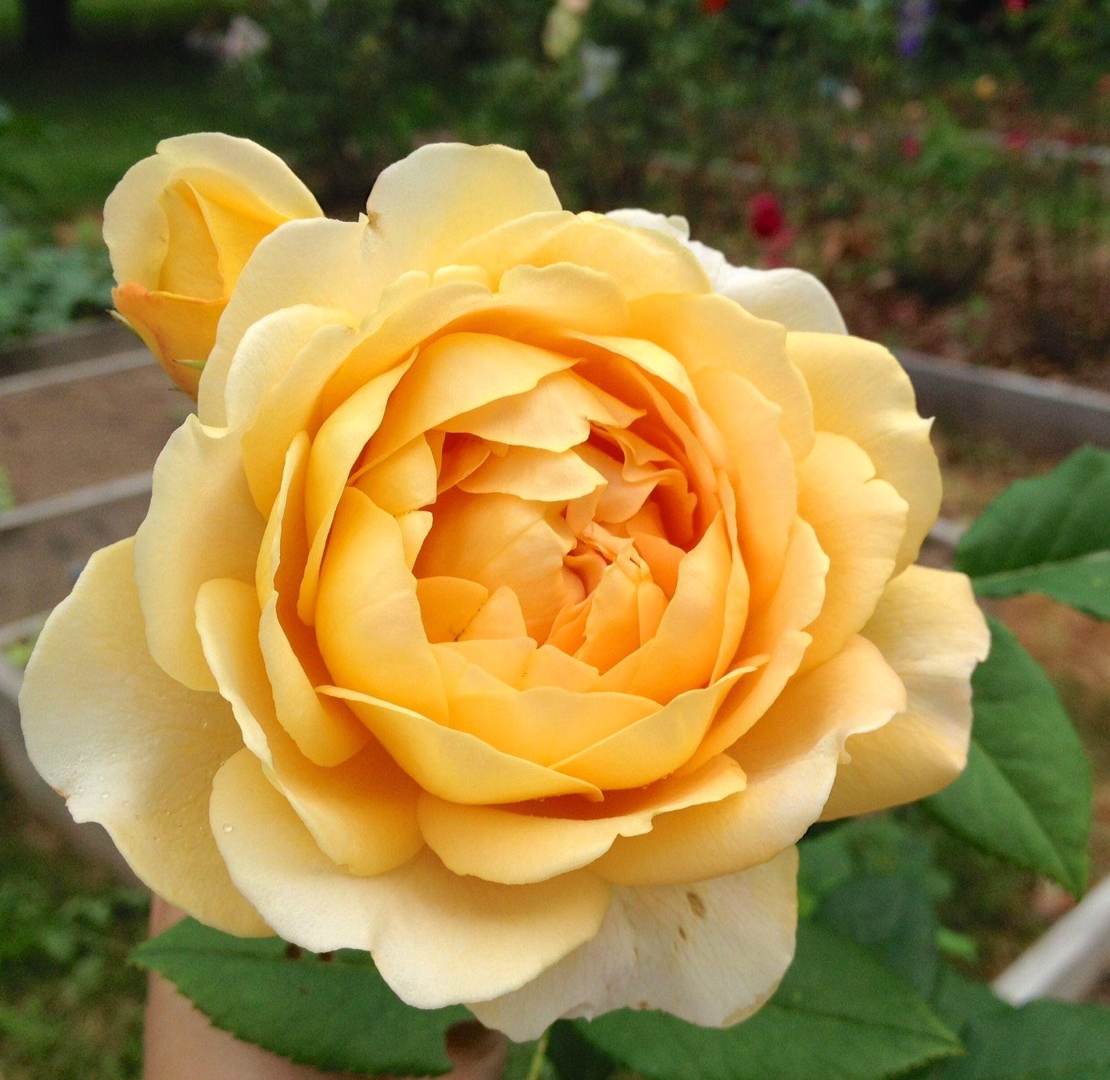 David austin rose golden celebration rose color meanings