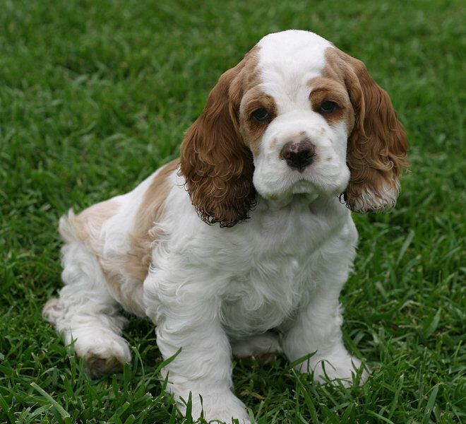 Awww! I want a cocker spanial sooo bad! Had one as a kid, they're great dogs.