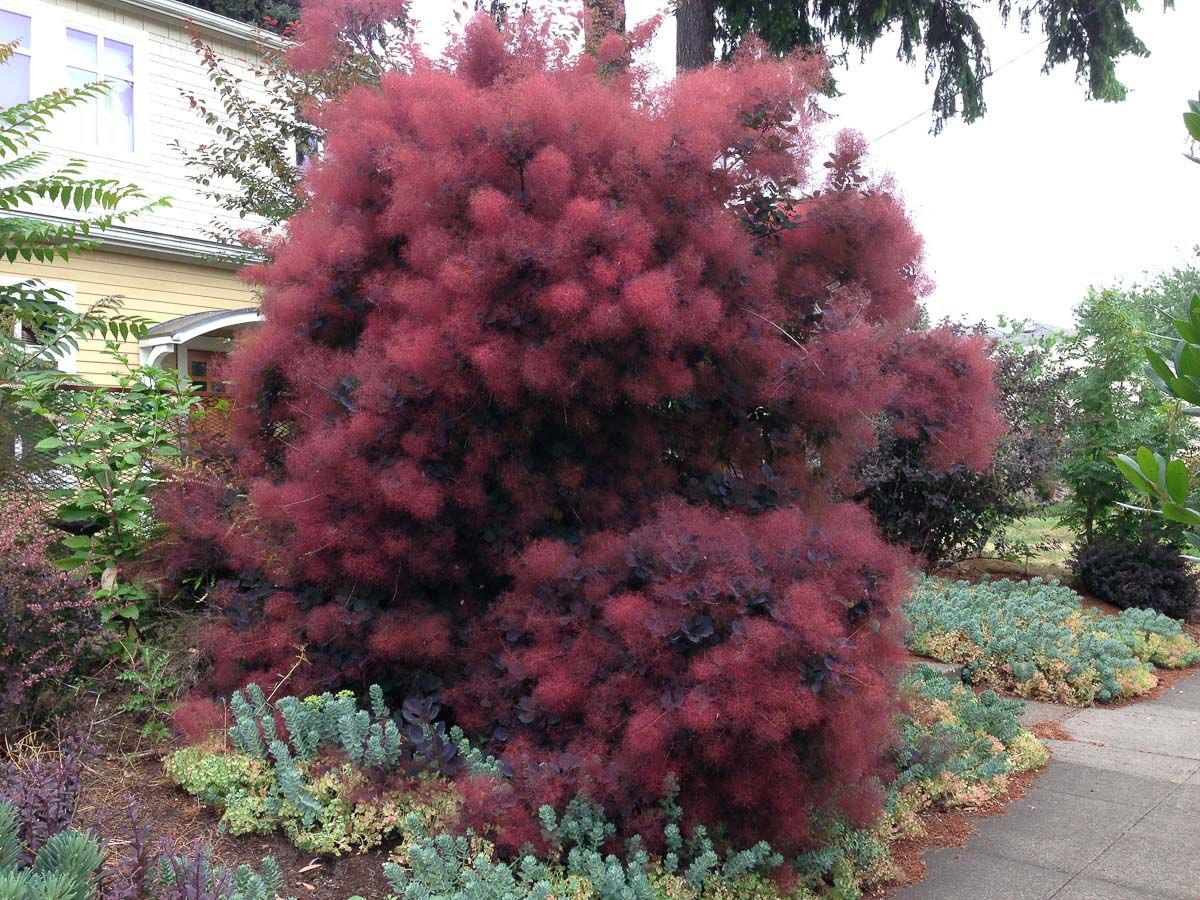 cotinus coggygria 39 royal purple 39 garden i want this pinterest names shrubs and the o 39 jays. Black Bedroom Furniture Sets. Home Design Ideas