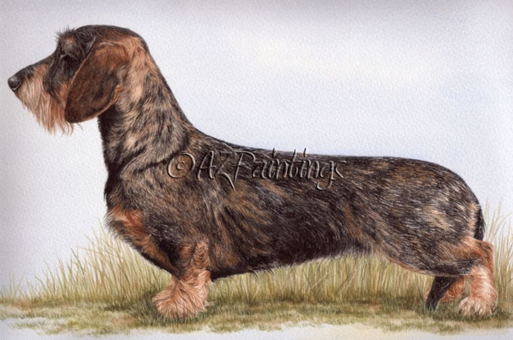 Champion Miniature Wirehaired Dachshund Watercolor Dog Portrait
