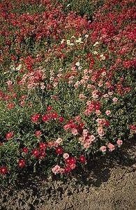 Pase Seeds - Helianthemum Sun Rose Nummularia Mutabile Mix Perennial Seeds, $3.49 (http://www.paseseeds.com/helianthemum-sun-rose-nummularia-mutabile-mix-perennial-seeds/)