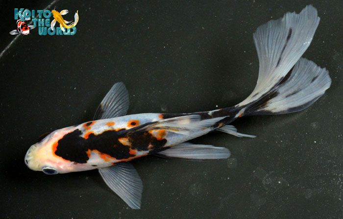 Shubunkin not a goldfish as koi butterfly just look at for Koi fish tail
