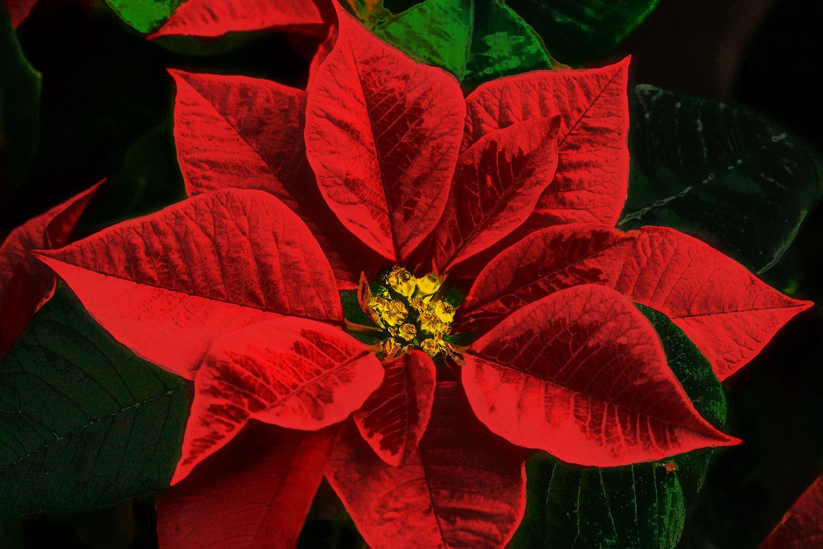 Winter Flowers To Warm To Part 5 Poinsettia Poinsettia Plant Poinsettia Poinsettia Flower
