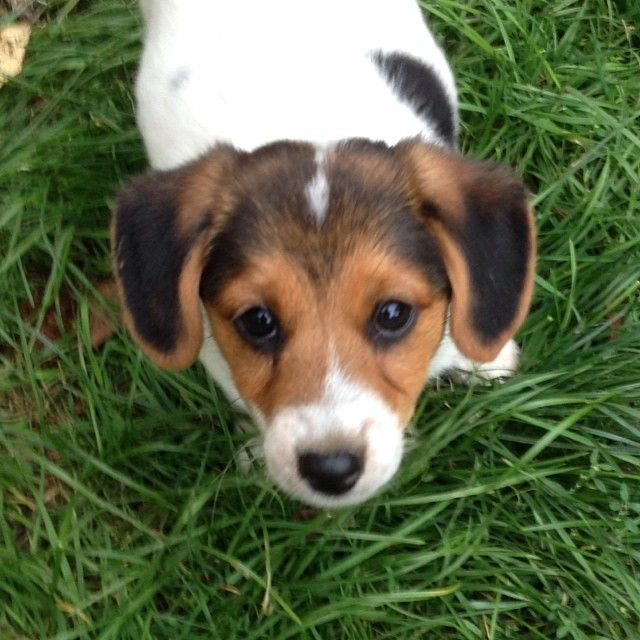 Jack Russell Terrier Beagle Mix A Jackle Or A Bussell Lol