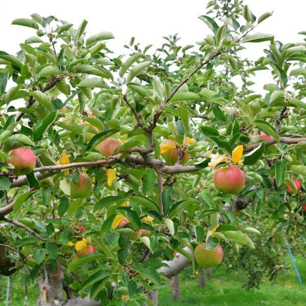 Pink Lady Apples Tree, Pink Lady