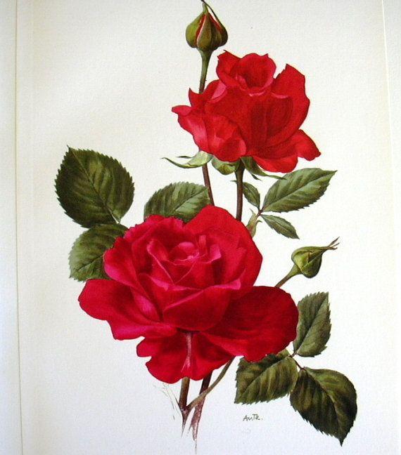 1962 Vintage Botanical Illustration Print Red Rose New Yorker Shabby