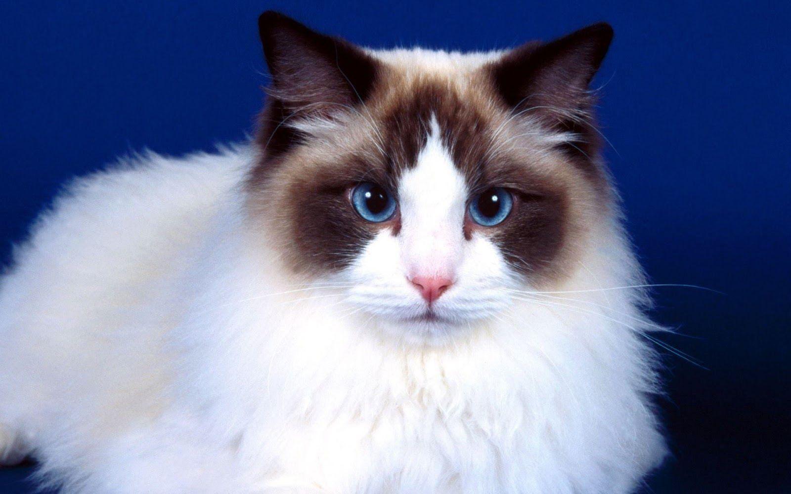 Fonds D Ecran De Chats En Full Hd Ragdoll Chats Adorables Animaux Les Plus Mignons