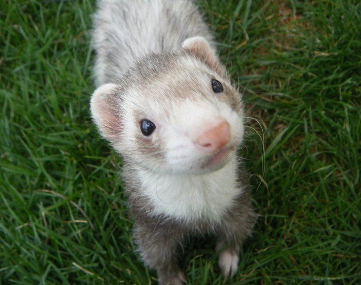 i must include my own beautiful animals, of course! byder ♡ my #female #sable #ferret. Uploaded by Jenna Wagner