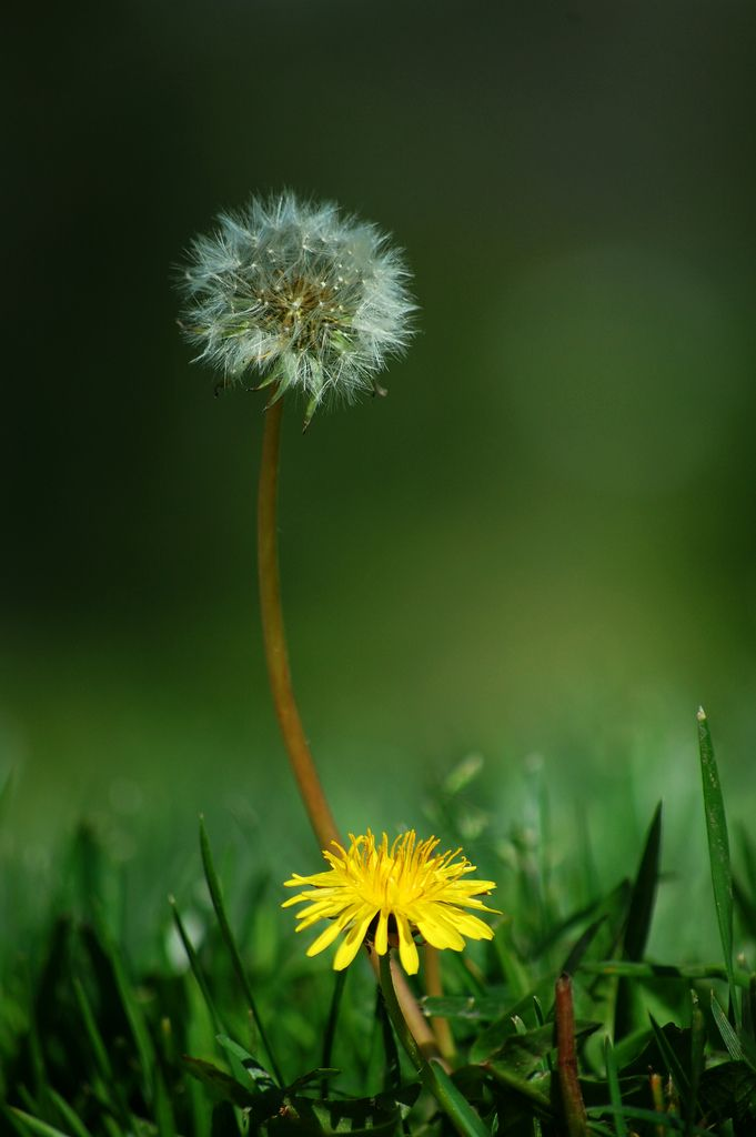 Large Dandelion Or Taraxacum Flower Head Composed Of Numerous Small Florets With Green Leaves And Grass Backgro Green Grass Background Grass Background Flowers
