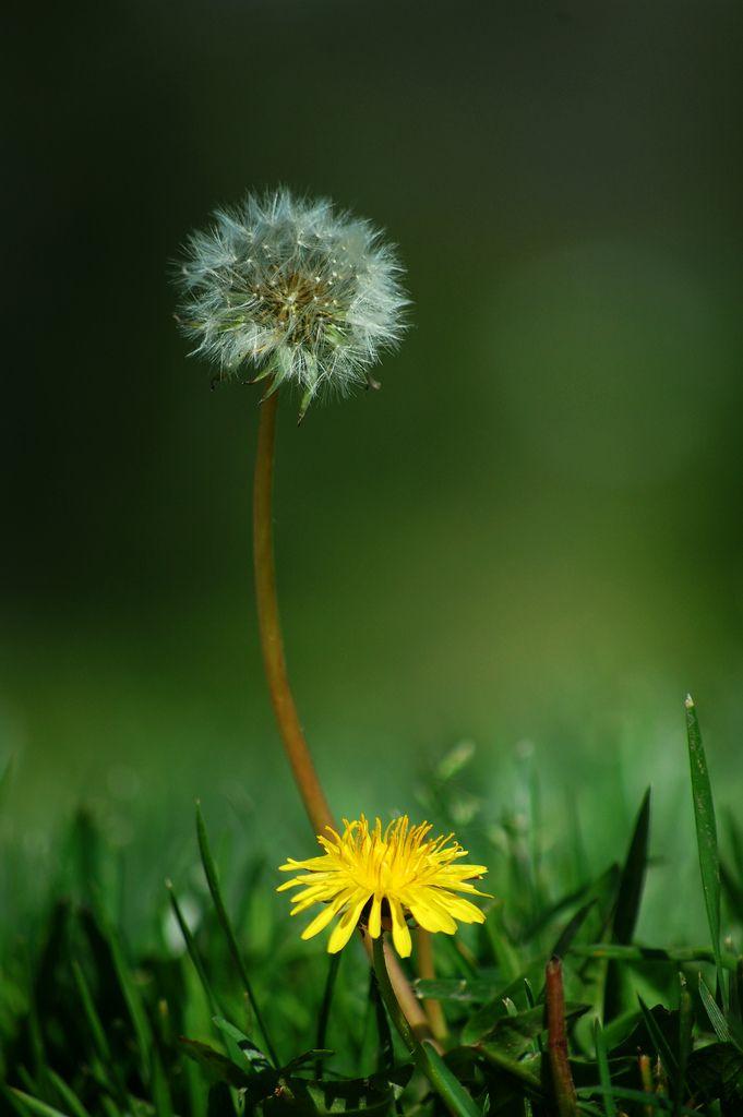Pin By Celeste Turner On Untitled Dandelion Dandelion Flower Nature