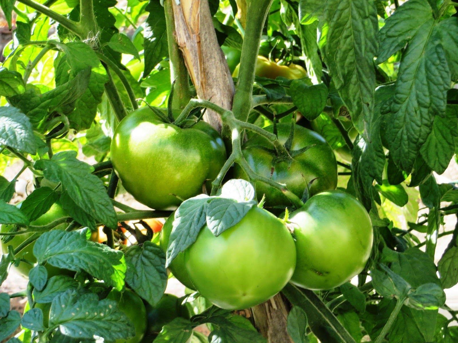 Como plantar tomates para principiantes - Ecocosas