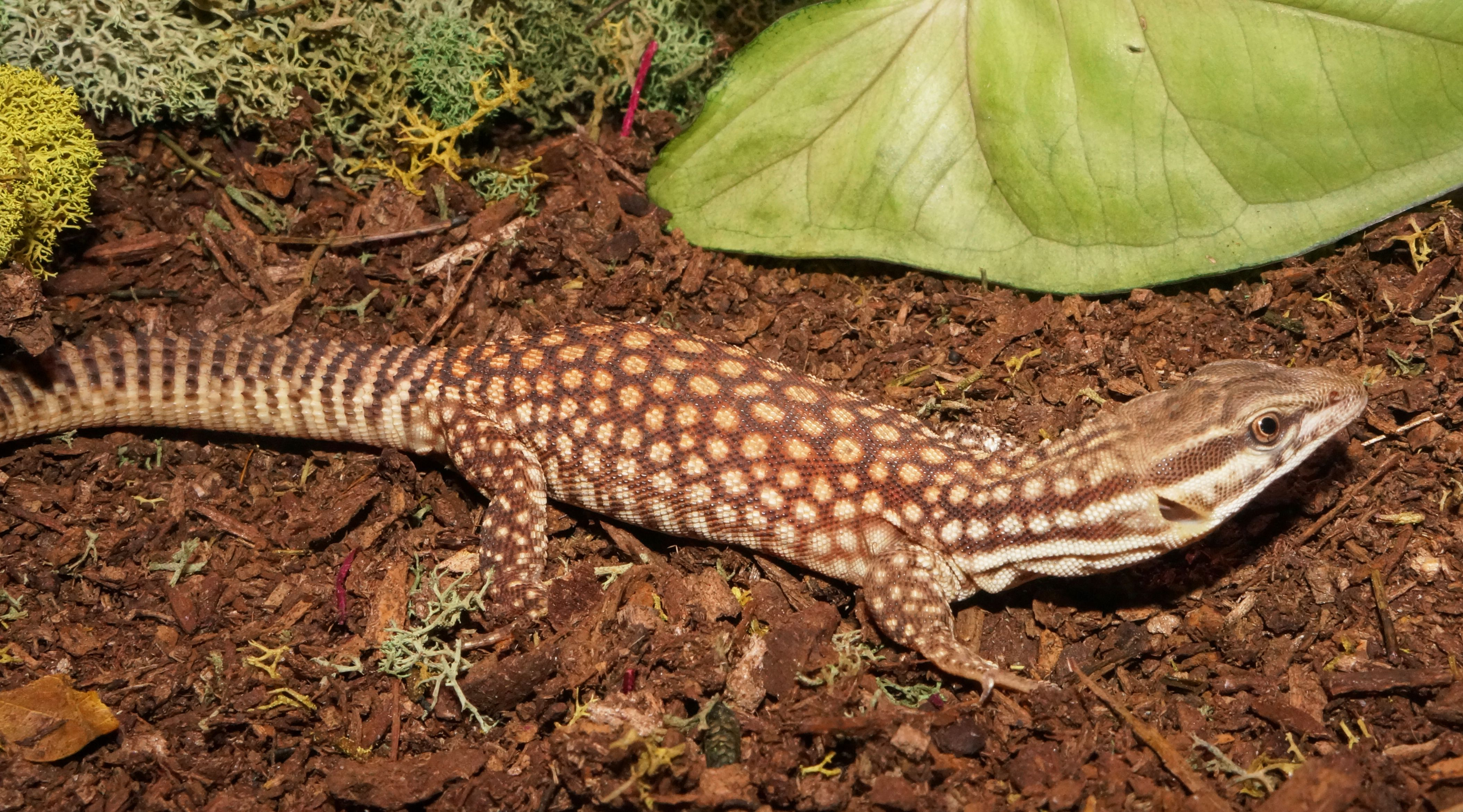 Baby Red Ackie Monitor | Lizards: Monitors & Tegus