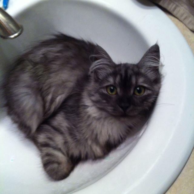 Black Smoke Siberian kitten This kitten looks just like ...