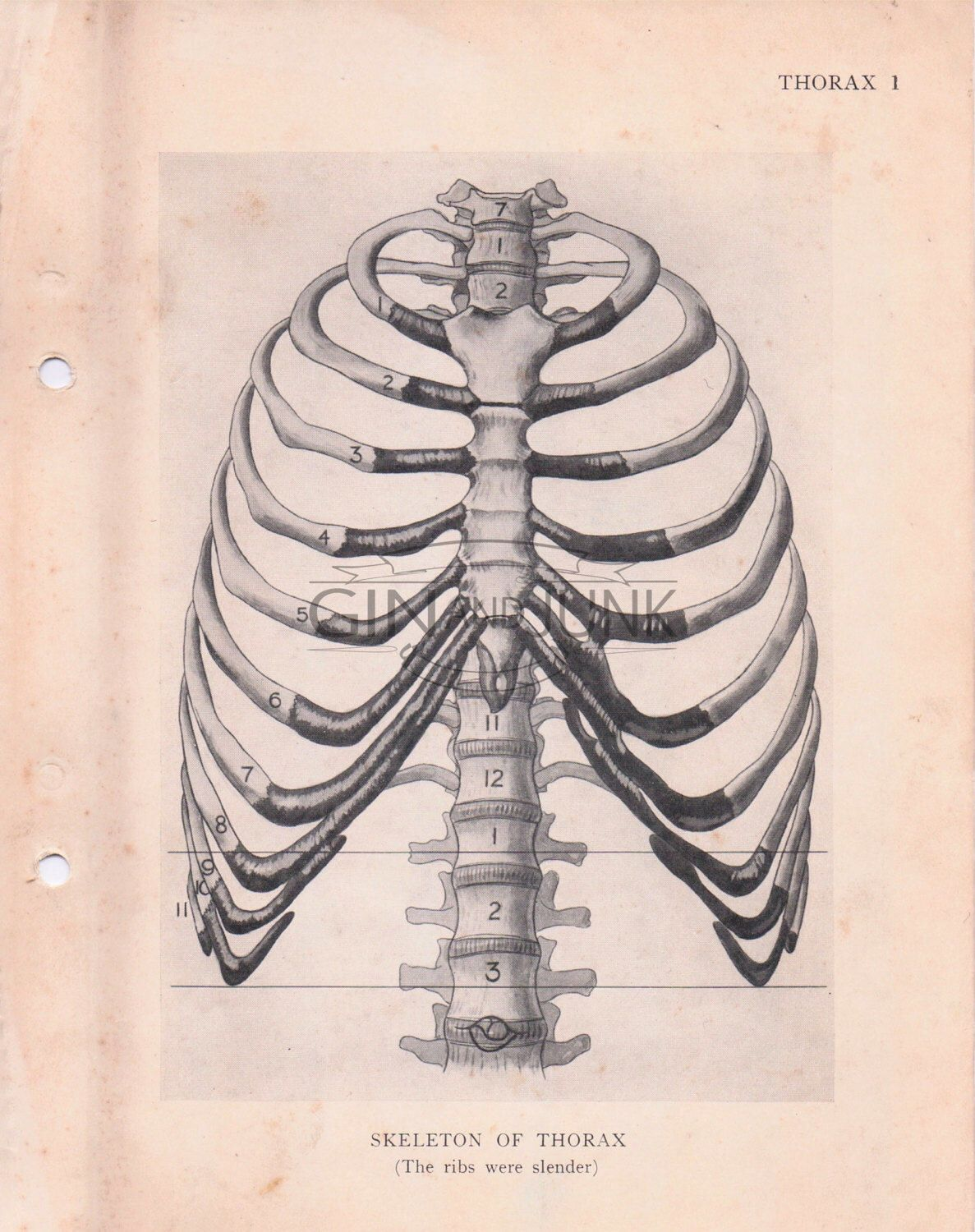 Vintage Medical Drawing Diagrams Of The Thorax And Rib Cage From