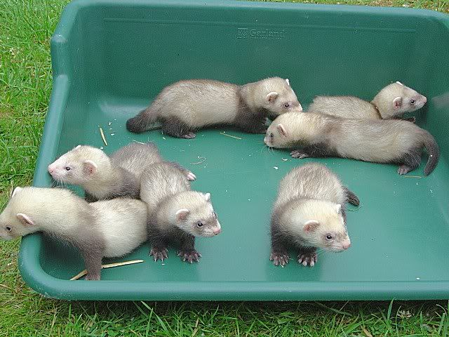 What is the name for a baby ferret?