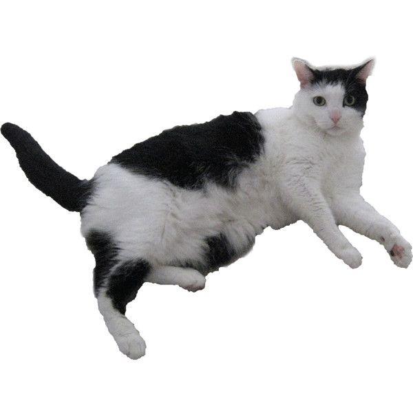 Domestic House Black White Cat Black Cat Aesthetic White And Black Cat Animals