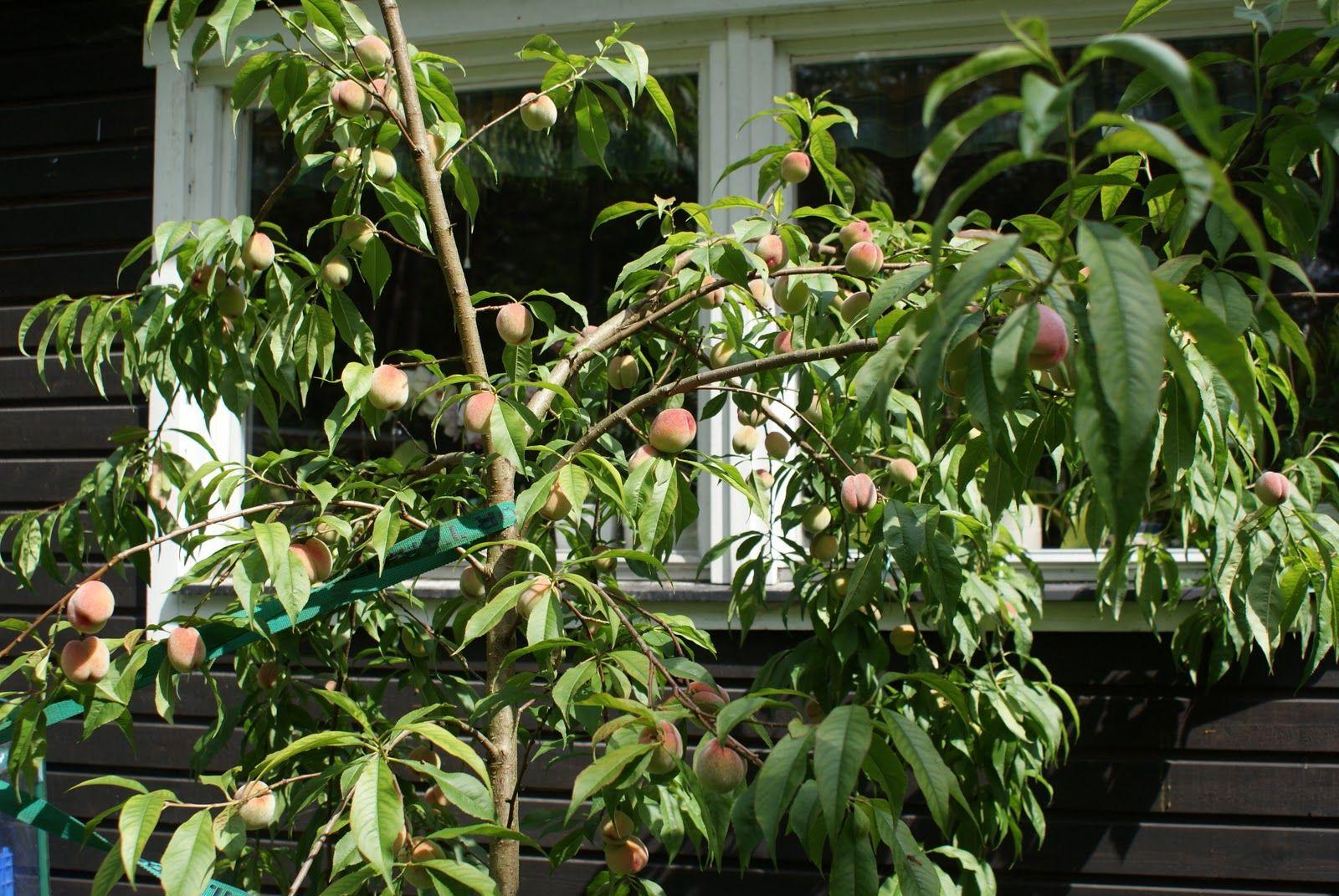 Peaches, in my garden
