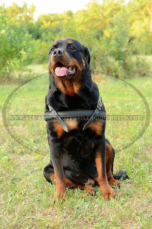 Strong Leather Rottweiler Harness For Training Pulling And