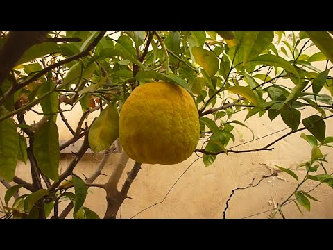 زراعة بذور الحمضيات والحصول على شجرةالكباد بطريقة مجربة How To Germinate Citrus Seeds Youtube Plants Farm Fruit