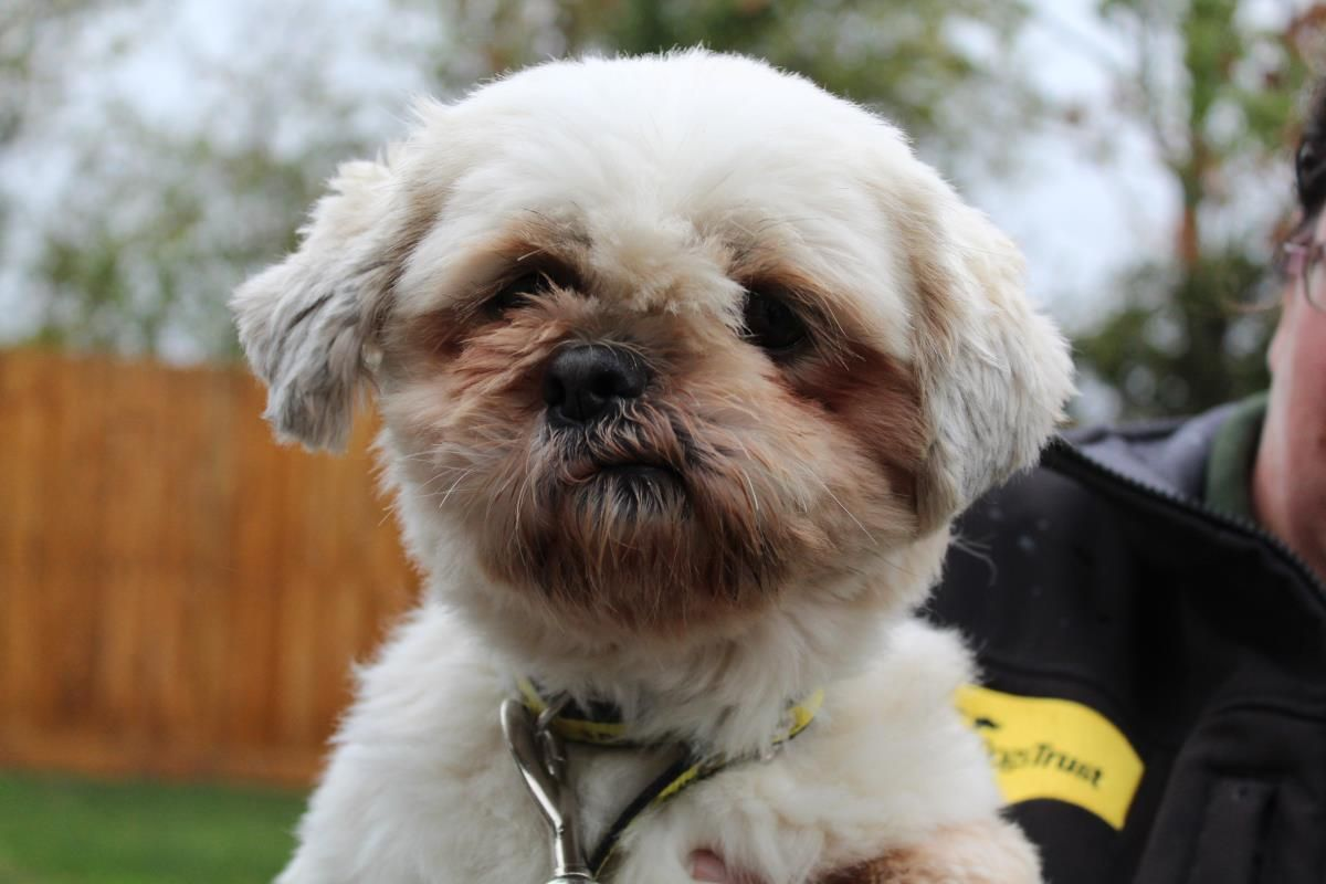 Belle Dogs Dogs Trust Shih Tzu Dog