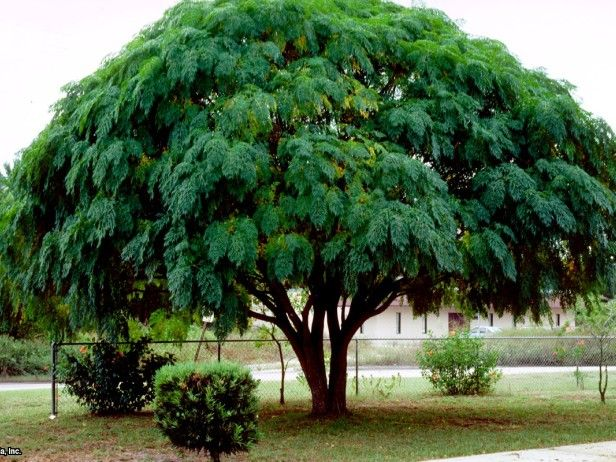 Chinaberry Melia Azederach Hgtv Gardens Tree Shade Trees Trees To Plant