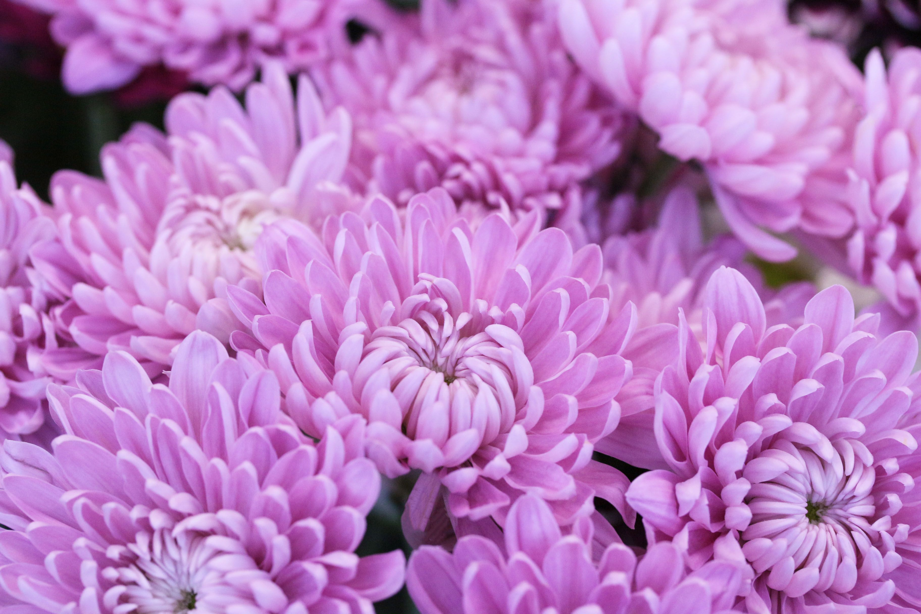 Light Pink Wish Chrysanthemum Flower Catalogs Chrysanthemum Pretty Flowers