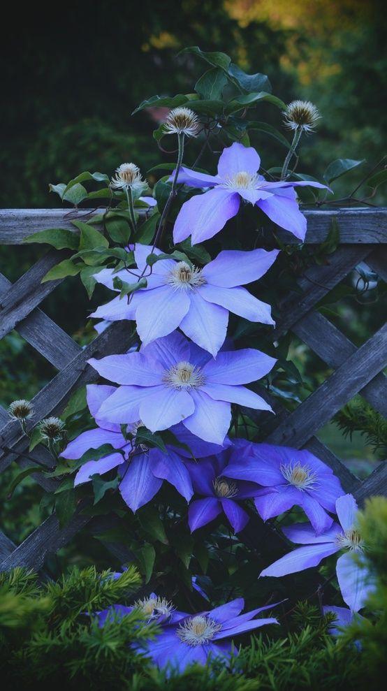 Blaue Clematis sieht toll aus mit den großen Blüten und rankt sich ...