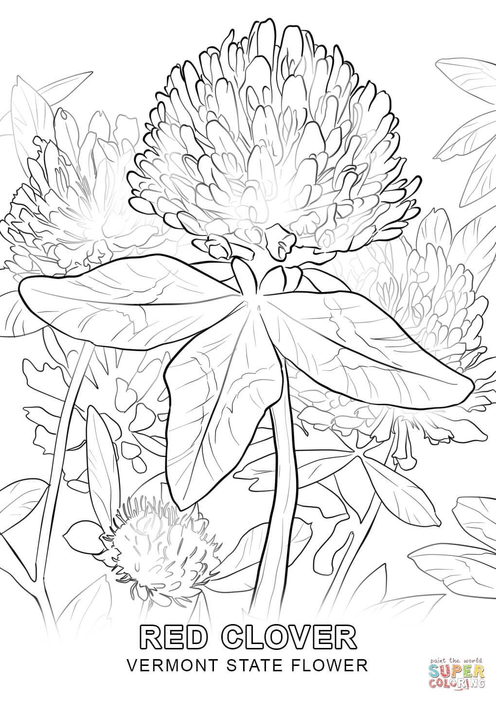 Vermont State Flower Coloring Page Free Printable Coloring Pages