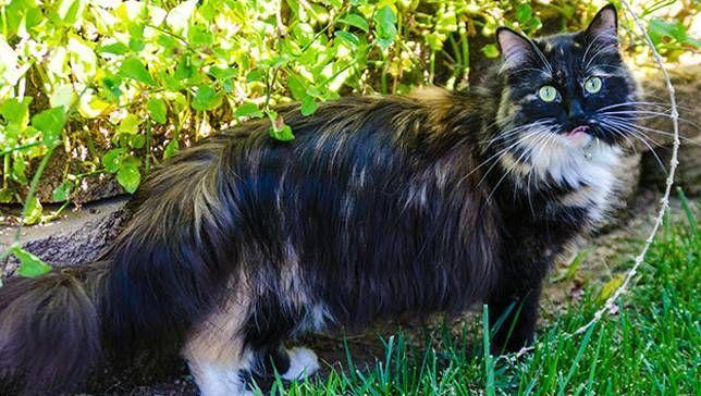 Sophie cat with longest fur