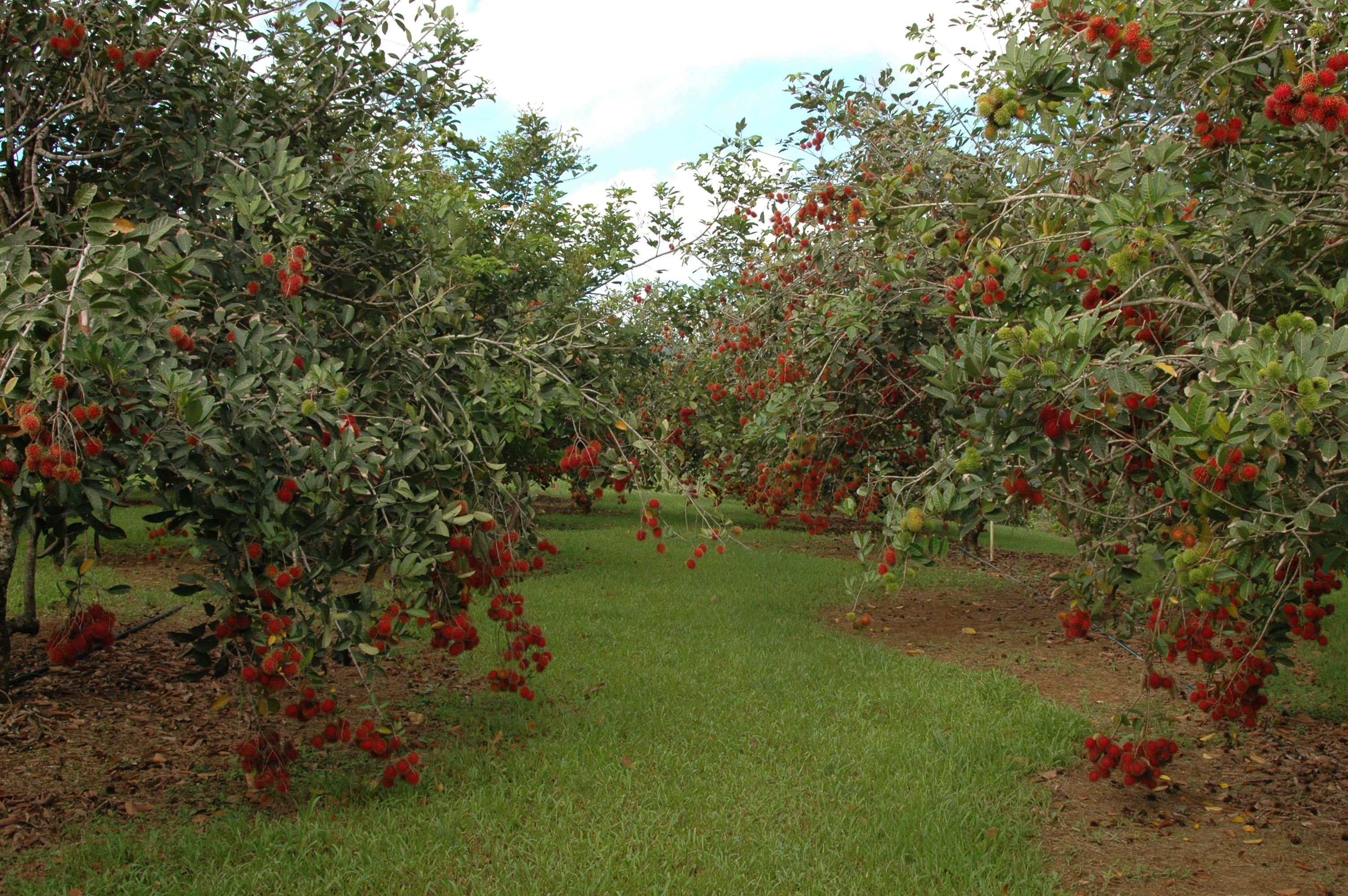 Simple Malaysian Home Page Plants Fruit Trees Tropical Fruit
