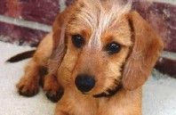 Mini Dachshund Puppies For Sale From Our Home At Wirehaired