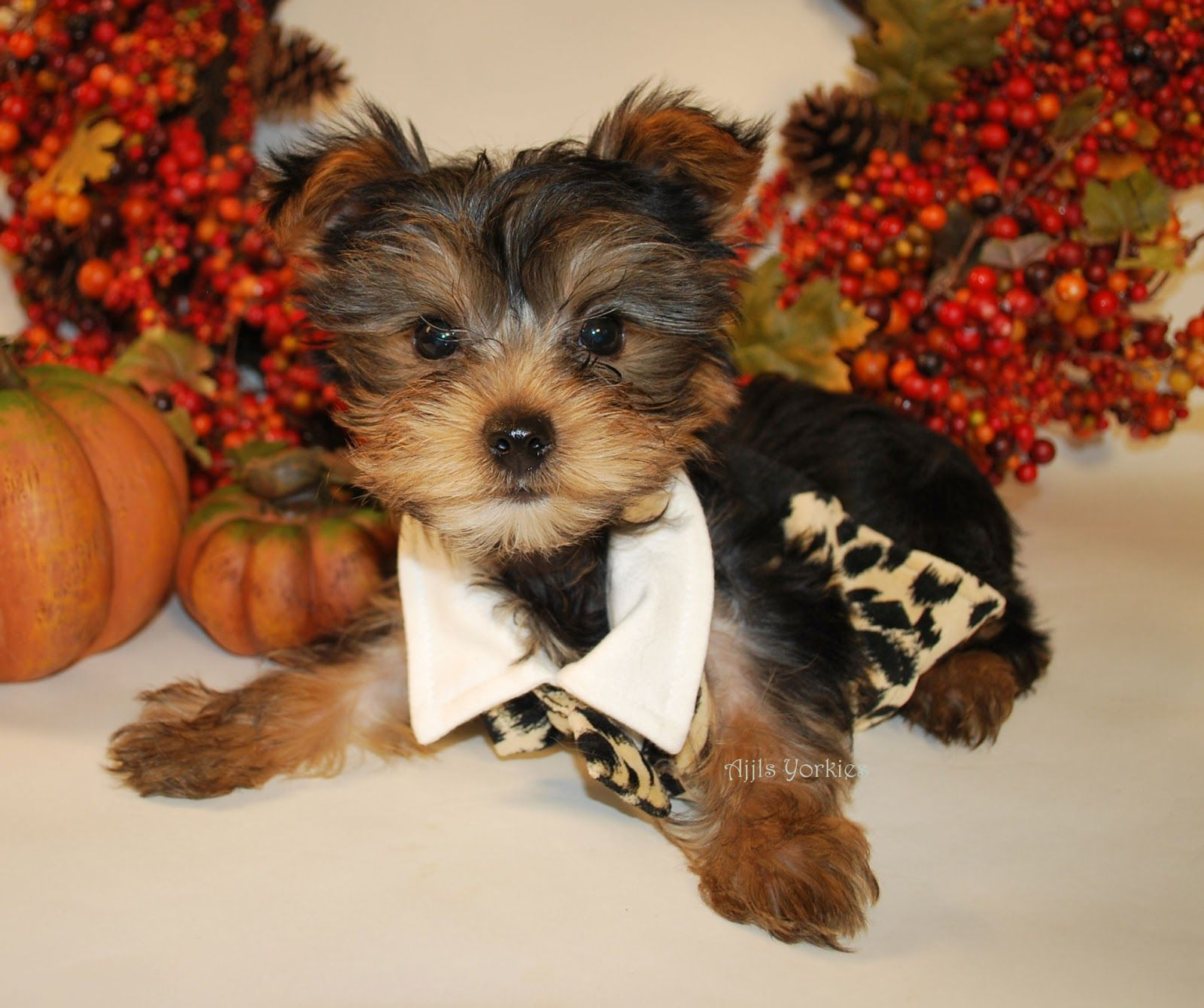 Cute Yorkie Puppies Pictures animals and bits of love