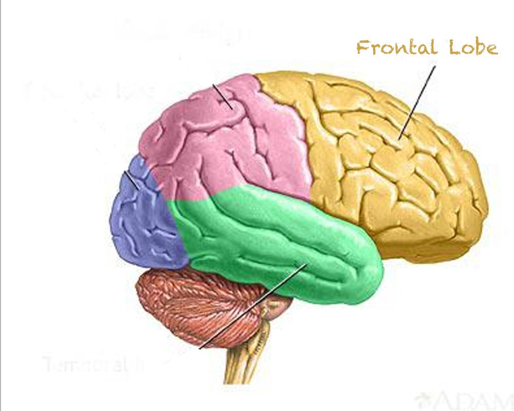 This picture depicts the placement of the frontal lobe whose primary ...