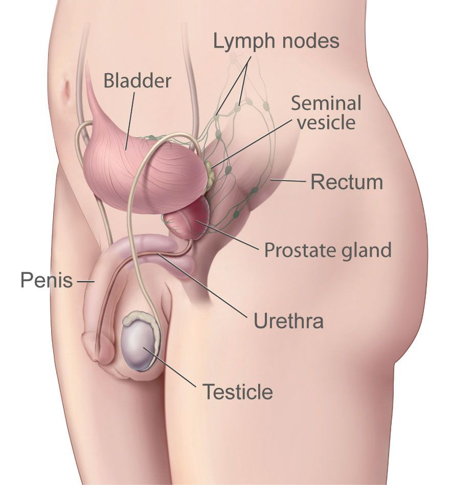 Prostate gland anatomy and physiology. The prostate gland is one of ...