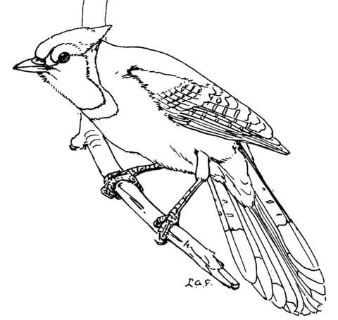 Blue Jay Coloring Page Free Printable Coloring Pages Blue Jay Art Bird Coloring Pages Coloring Pages