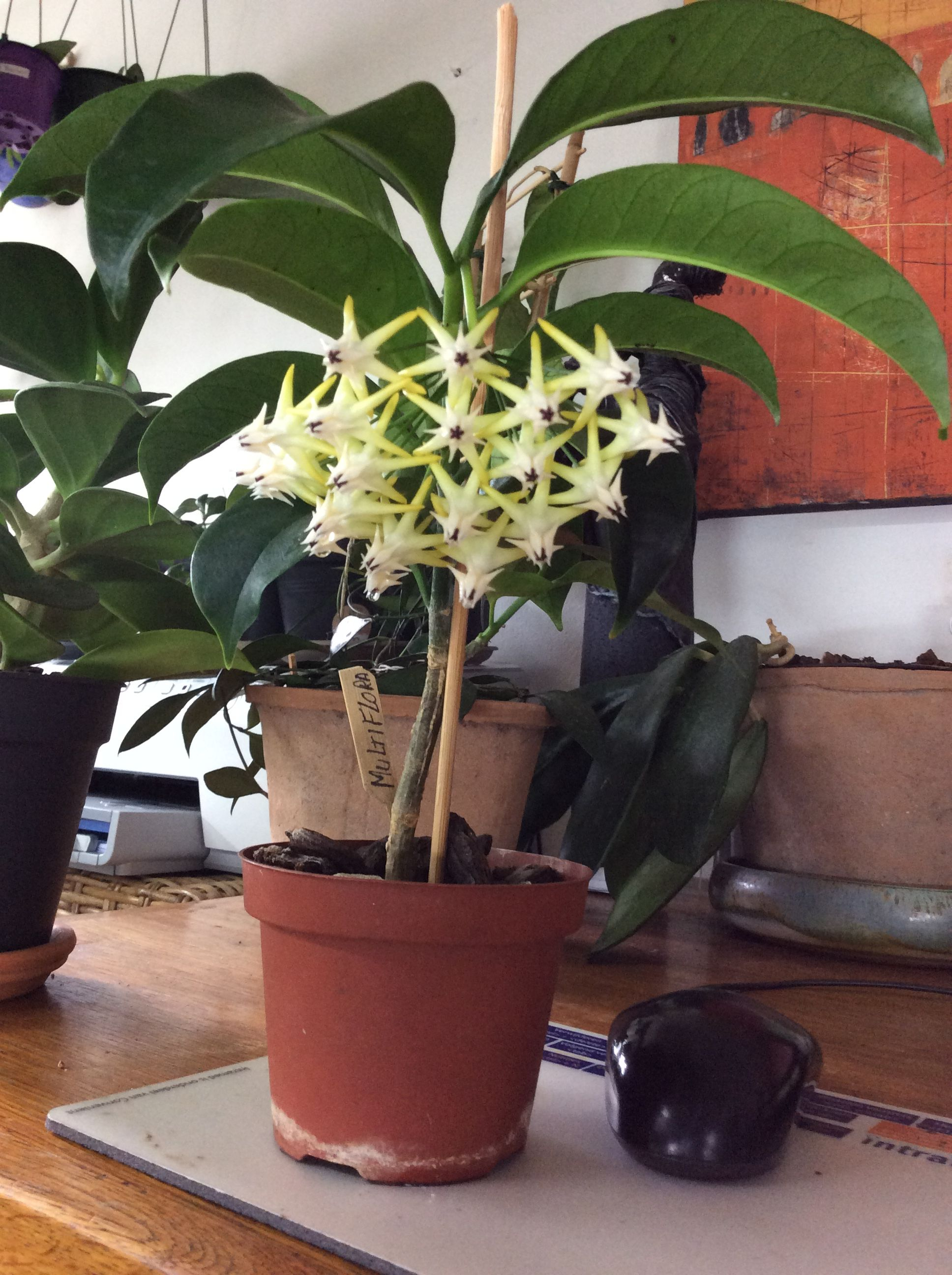 This Is Hoya Multiflora At My Home