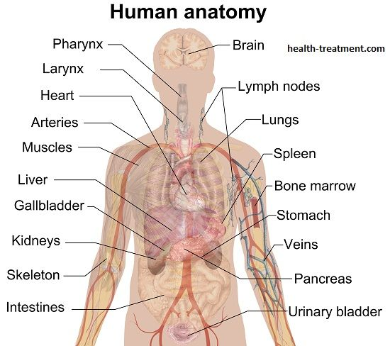 Kidney Location Function Where Are The Kidneys Located Human Body Diagram Human Body Organs Anatomy Organs