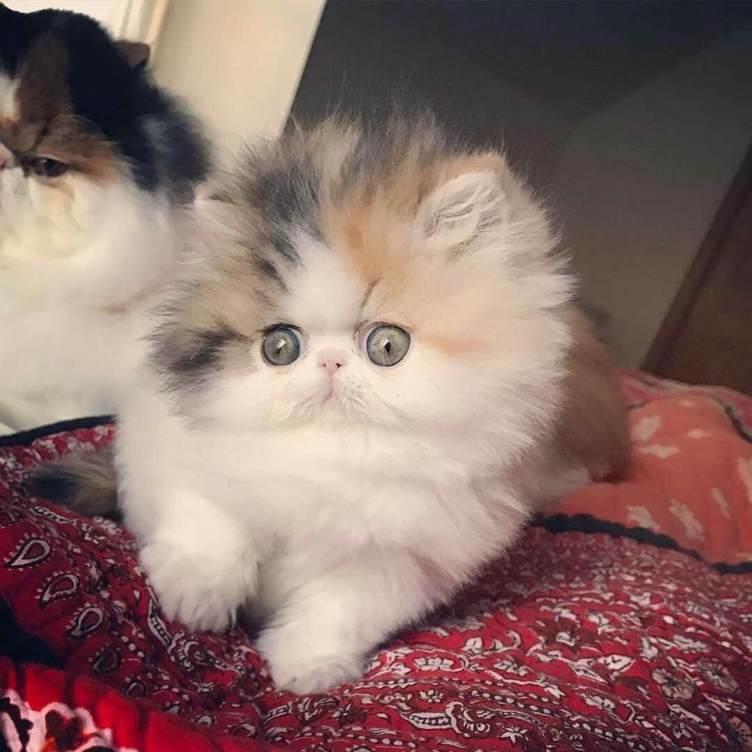 Majestic 19 Persian Cat Images And Facts Https Meowlogy Com 2018 12 28 19 Persian Cat Images And Facts There Are Several Diff Cute Cats Cats Persian Kittens