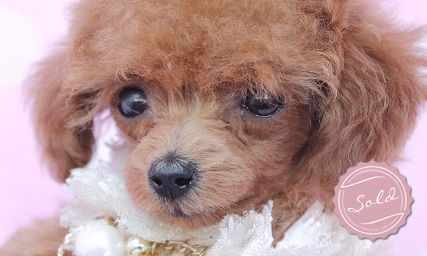 Toy Poodle Puppies For Sale By Teacups Toy Poodle Puppies Toy