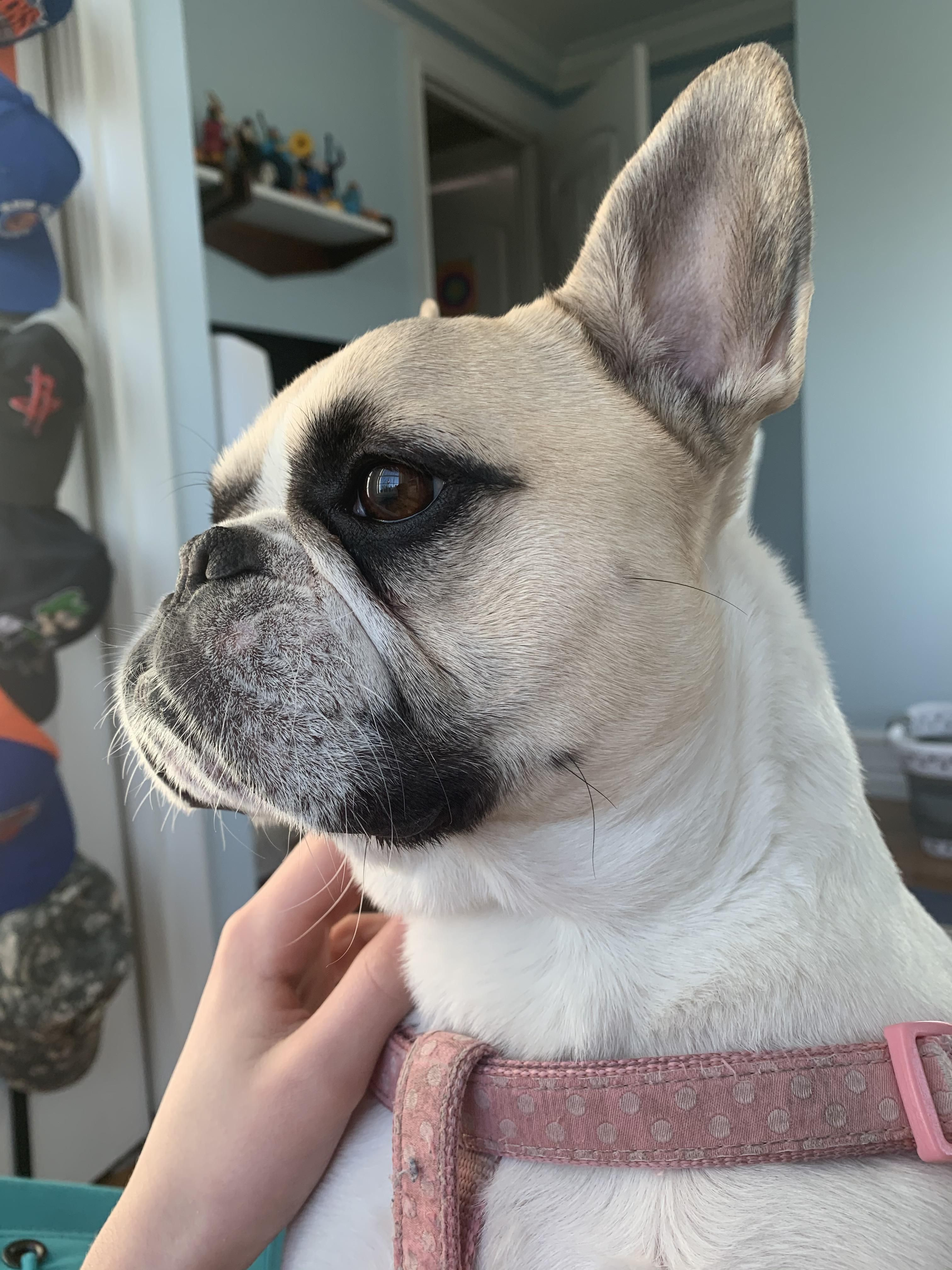 This is Luna my French Bulldog Music IndieArtist