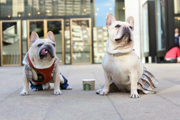 French Bulldogs Wearing Burberry Clothes York Dog Humans Of New