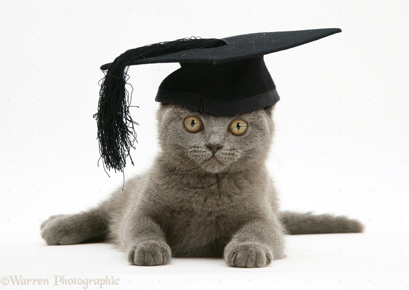 An Open Letter To The Class Of Graduating A Year Late British Shorthair Kitten Cat Hat