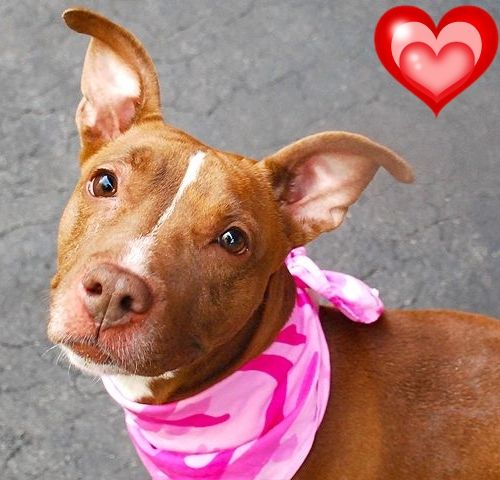 KILLED8-10-2015  --- Manhattan Center MAGGIE – A1045819  FEMALE, CHOCOLATE / WHITE, AM PIT BULL TER MIX, 2 yrs STRAY – EVALUATE, NO HOLD Reason INAD FACIL Intake condition EXAM REQ Intake Date 07/29/2015 http://nycdogs.urgentpodr.org/maggie-a1045819/