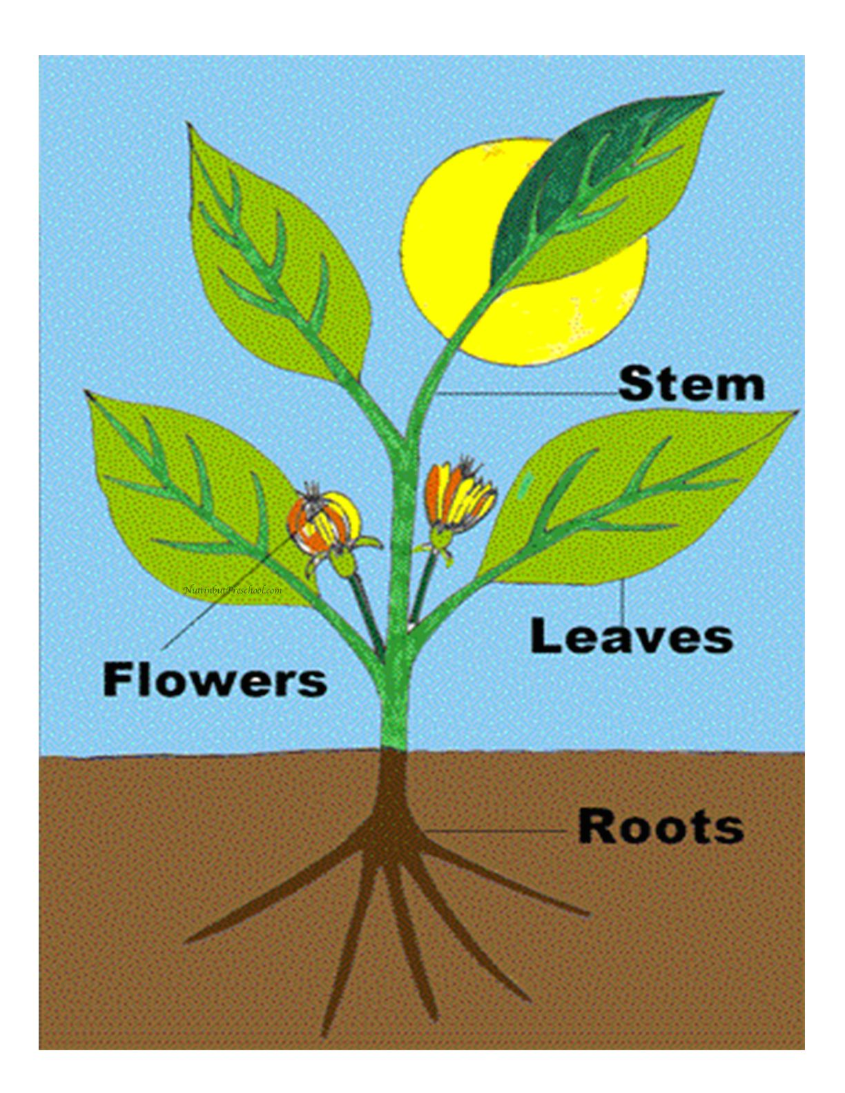 Parts Of A Plant Poster And Activities