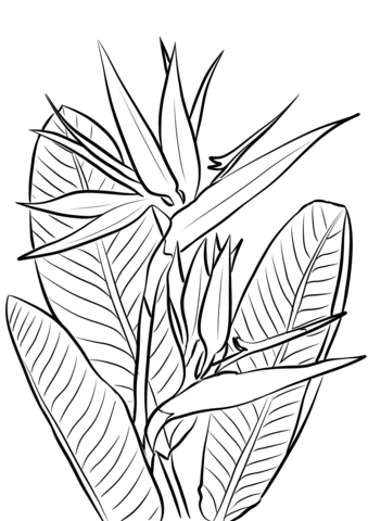 Click To See Printable Version Of Bird Of Paradise Plant Coloring Page Bird Of Paradise Tattoo Paradise Painting Birds Of Paradise Plant