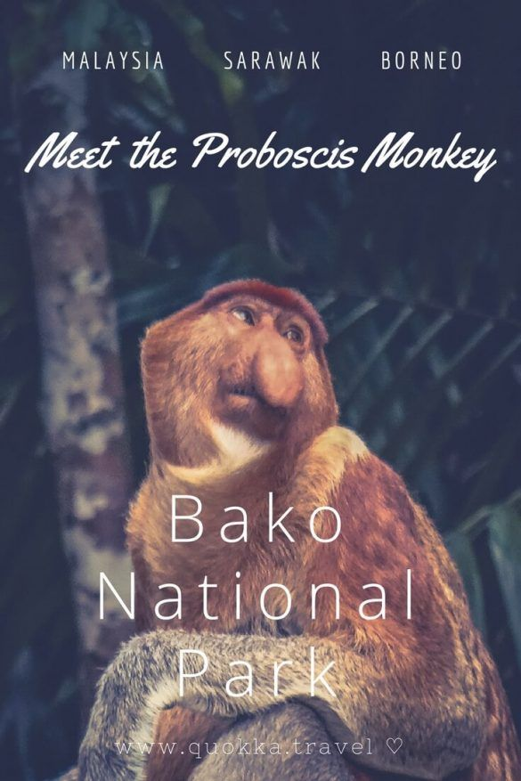 Meet the Proboscis Monkey in Bako National Park on Sarawak, Borneo in Malaysia. Considering the short distance from Kuching, Bako National Park is ideal for a one or two-day travel trip! Read our travel tips to make the most of it ♡