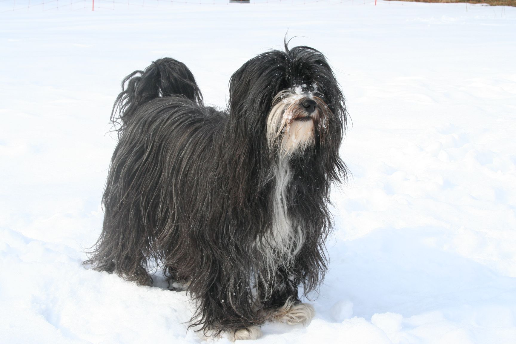 Tibetaanse Terrier / TibetTerrier Tibet terrier