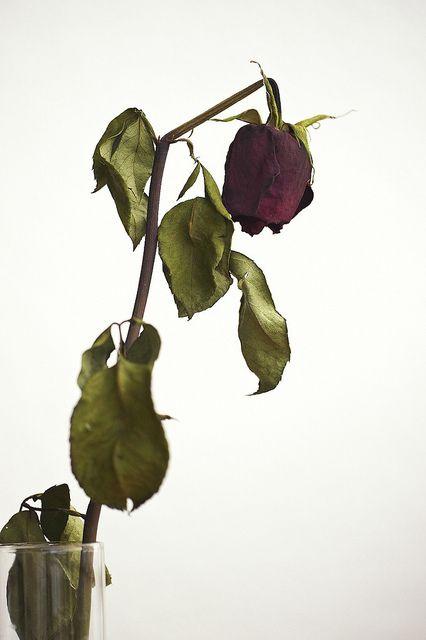 Dead Rose Mawar Merah Bunga Wallpaper Bunga